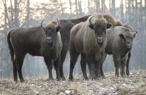 Reintroducirán bisontes en Inglaterra