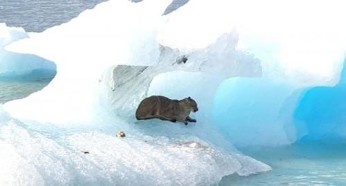 Algunas precisiones sobre la historia del puma atrapado sobre un iceberg