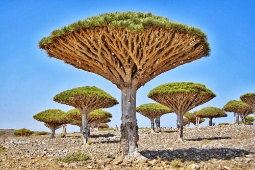 Los secretos del árbol dragón de Socotra