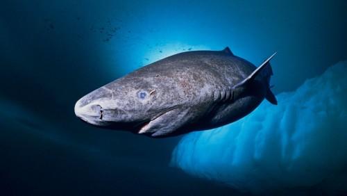 Tiburón de Groenlandia: el vertebrado más viejo de nuestro planeta