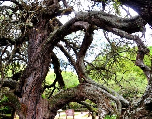 El algarrobo abuelo: árbol histórico de San Luis