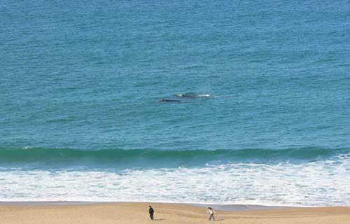 Se pueden avistar ballenas desde la costa del balnerio