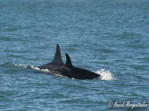 Orcas a la vista en Isla Pinguino
