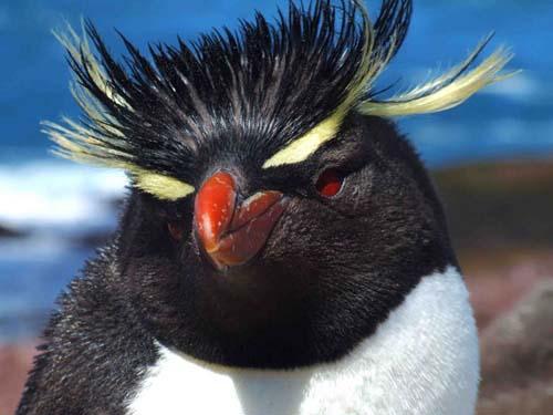 Llegaron los pingüinos de penacho amarillo a la Isla Pingüino
