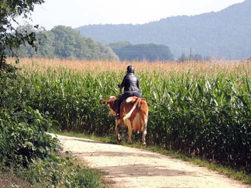 Paseo a lomo de vaca en las afueras de Stein am Rhein / por Graciela Cutuli