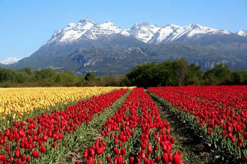 El edén argentino de los tulipanes