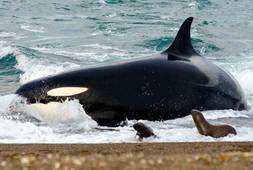 Avistaje de orcas en la costa de la Peninsula Valdes