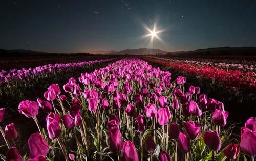 Los campos de tulipanes se pueden visitar de noche