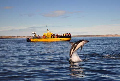 Avistaje de delfinesoscuros en Puerto Madryn