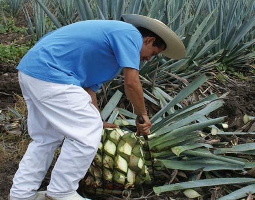 Una visita en torno al tequila