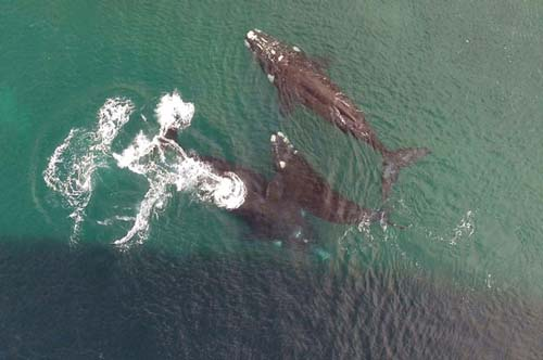 Vinieron más de 640 ballenas este año en las aguas de Puerto Madryn