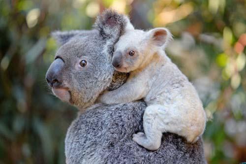 Acaba de nacer un bebé koala blanco